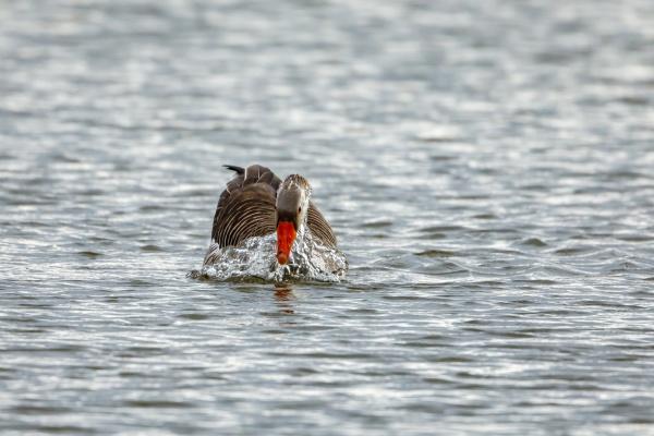 a greylag goose on a lake