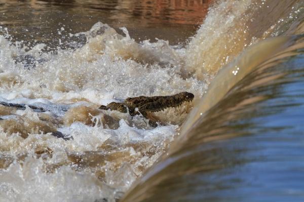 lazy fishing nile crocodile on