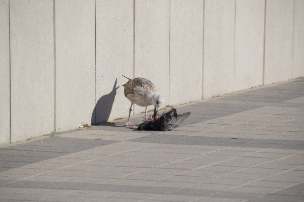 seagull is eating a dead dove