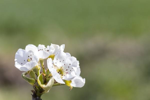 flowers and buds of fruit trees
