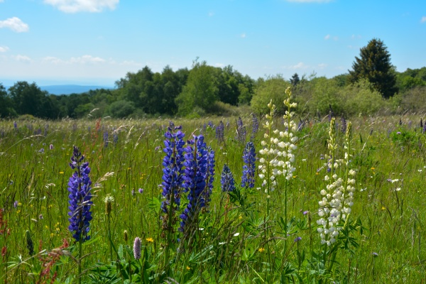 meadow with white and purple lupins