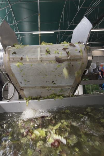 freshly harvested lettuce getting washed