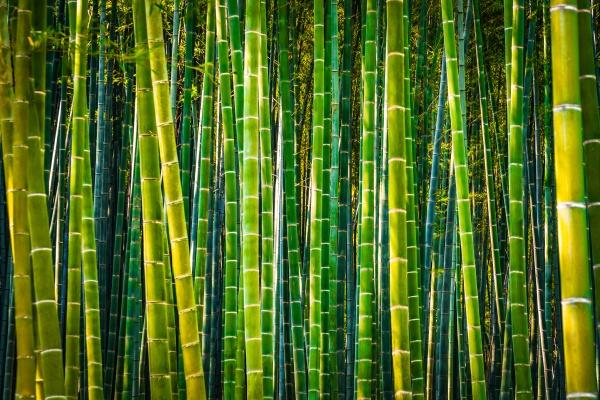 kyoto arashiyama bamboo forest high contrast