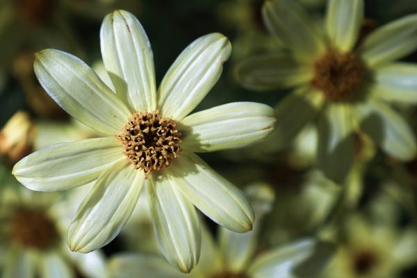macro background of tickseed flowers in