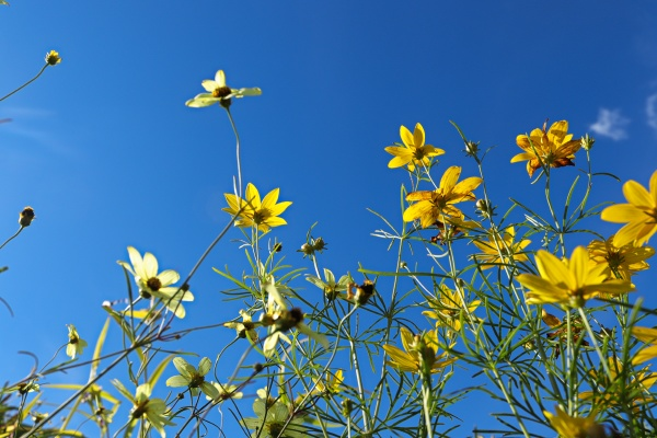 looking up through yellow tickseed against