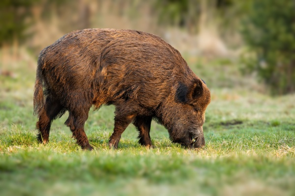 wild boar male with long teeth