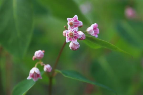 macro of delicate pink flowers on