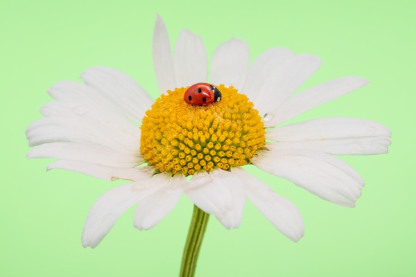 ladybug sleeping on a large chamomile