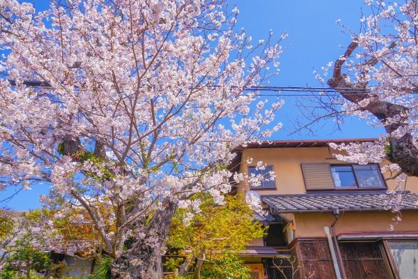 sakura of north kamakura in full