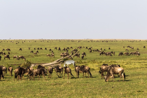 small herd of wildebeest on endless