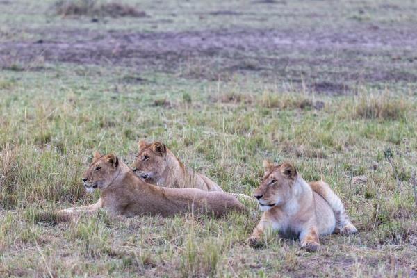 big lioness watches the savanna observation