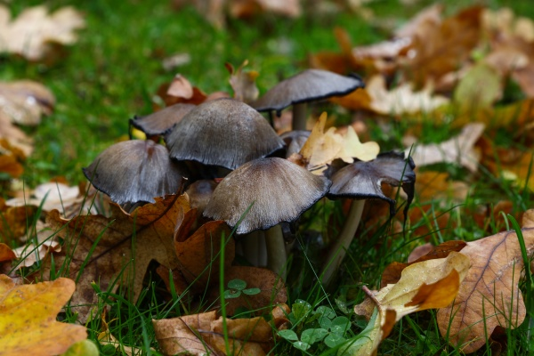 toadstool poisonous mushrooms in autumn leaves