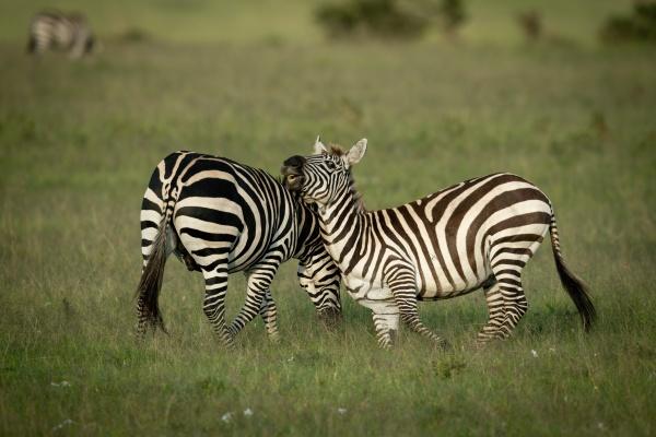 two plains zebra play fighting near