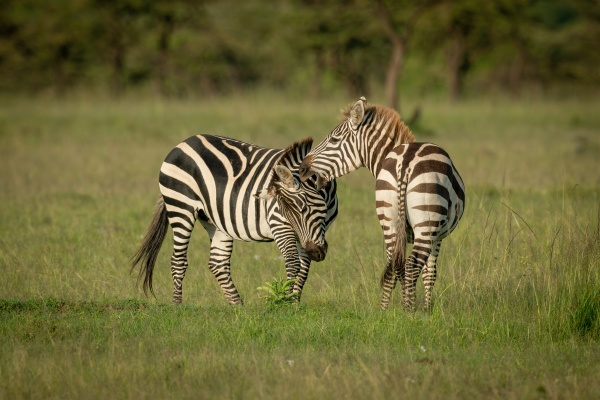 two plains zebra play fighting on