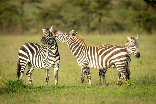 plains zebra stands nibbling another by