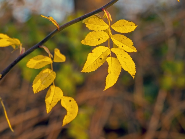 yellow ash tree leaves in winter