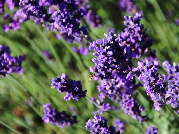 lavender flower field closeup