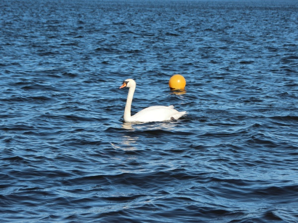 isolated white swan on empty blue