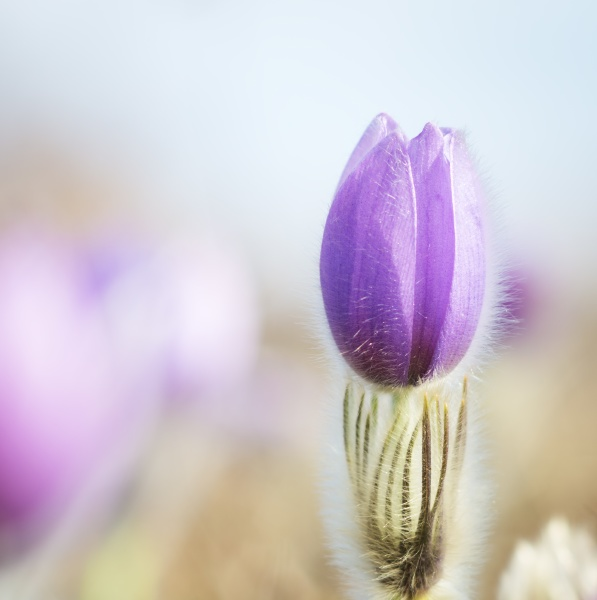 pasque flower on a meadow