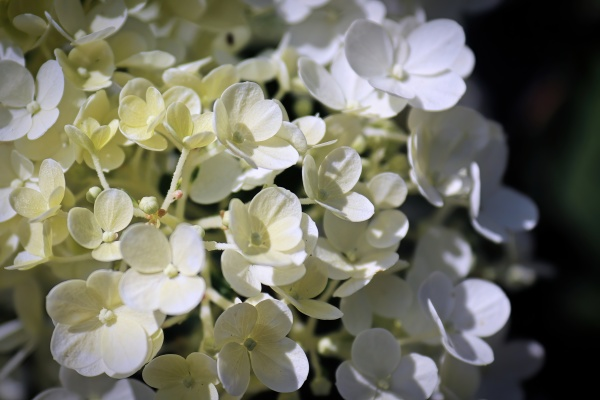 a background of white hydrangea blossoms