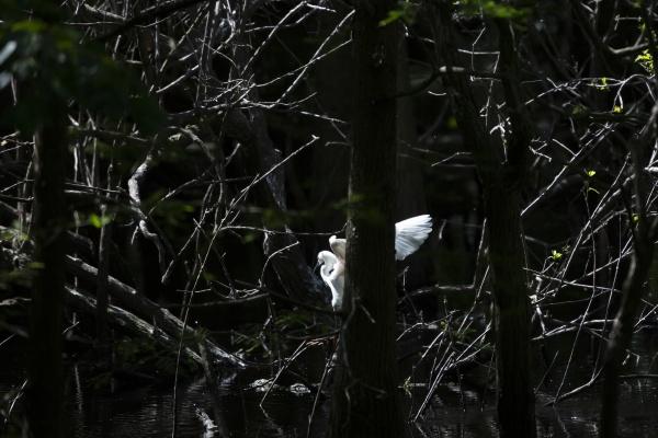 snowy egret landing in a swamp