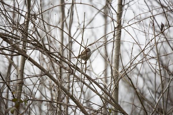 white throated sparrow on an overcast