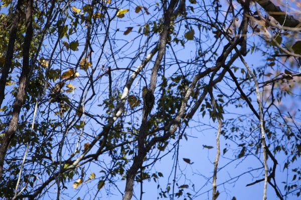 juvenile yellow bellied sapsucker foraging