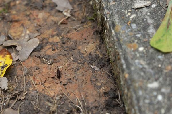 juvenile eastern lubber grasshopper