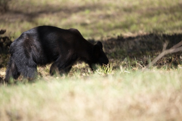 young bear yearling
