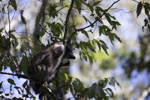 raccoon trying to climb down