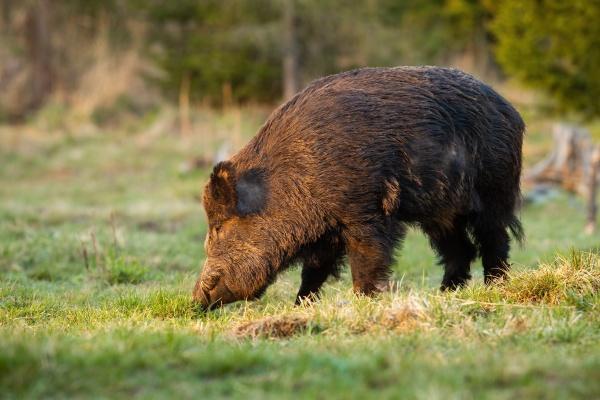 wild boar standing on grassland in