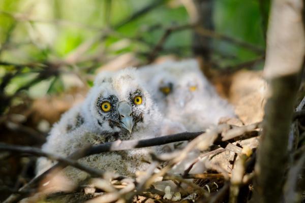 long eared owl little chicks in