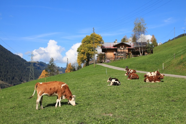 cows, on, a, green, meadow, in - 29787527