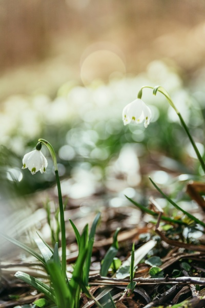 snowdrop flowers in the evening