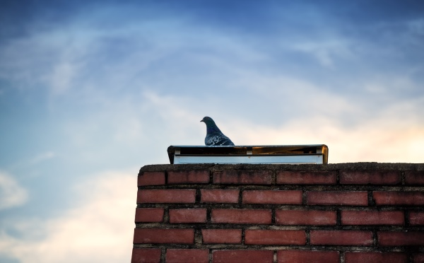 lonesome pigeon standing on a brick