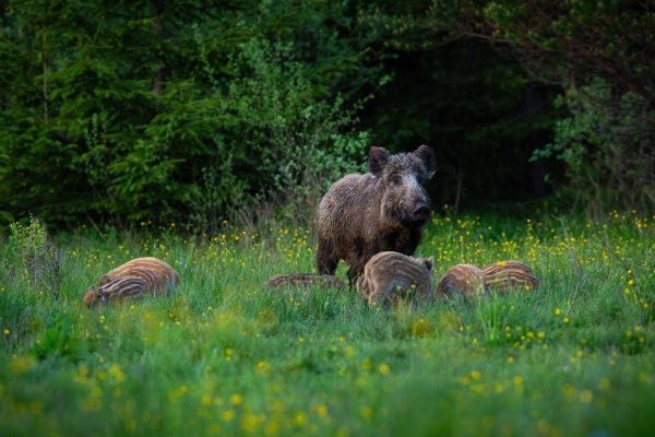 wild boar female guarding her striped