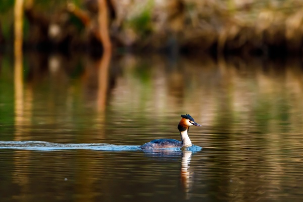 great crested grebe on the water
