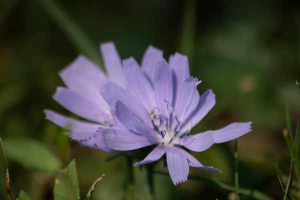 purple endive or chicory flower in