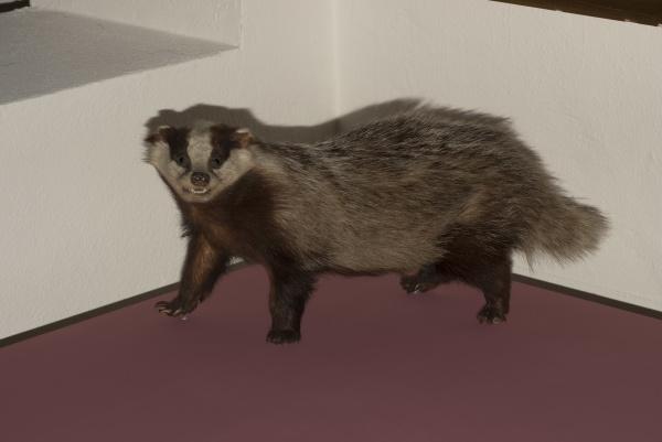 badger a short legged omnivore
