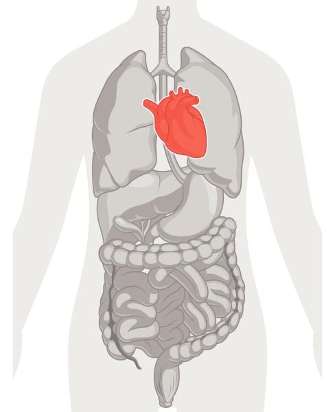 heart organ cardiovascular system body part