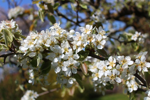 blossoming pear tree in the garden