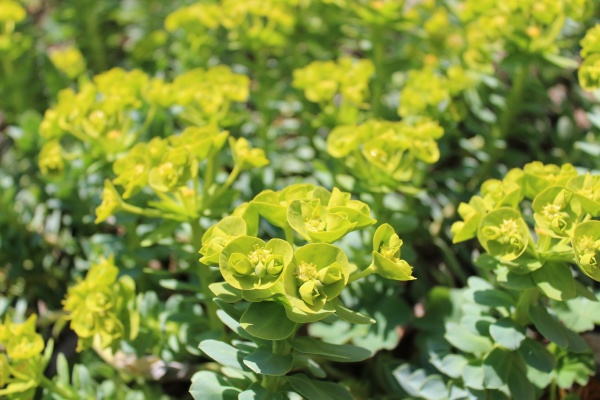 blossoming spurge in the garden