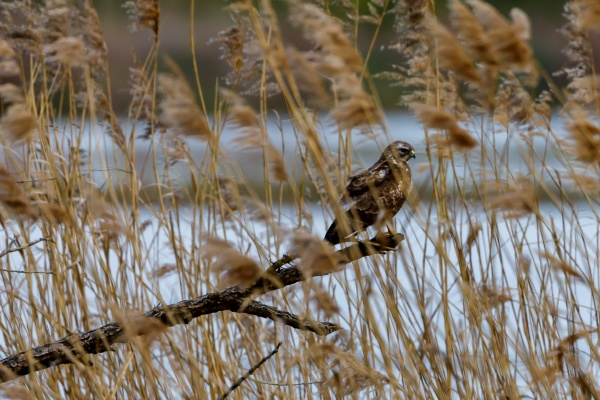 a common buzzard in the reed