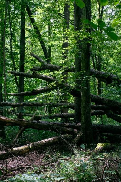 alder tree deciduous stand