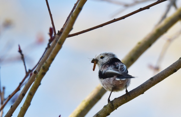 tail tit with food in its