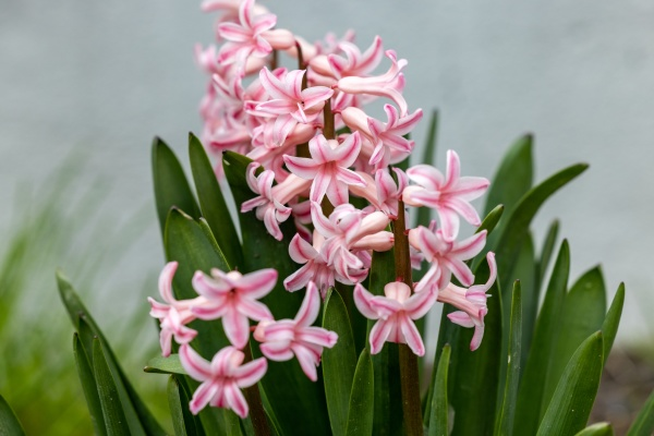 pink hyacinths in a flowerbed in