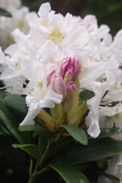 flower head and bud of rhododendron