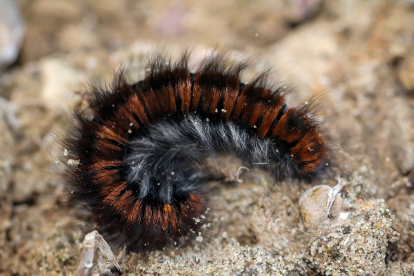 the blackberry moths hairy caterpillar