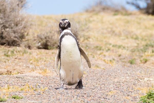 magellanic penguin close up punta