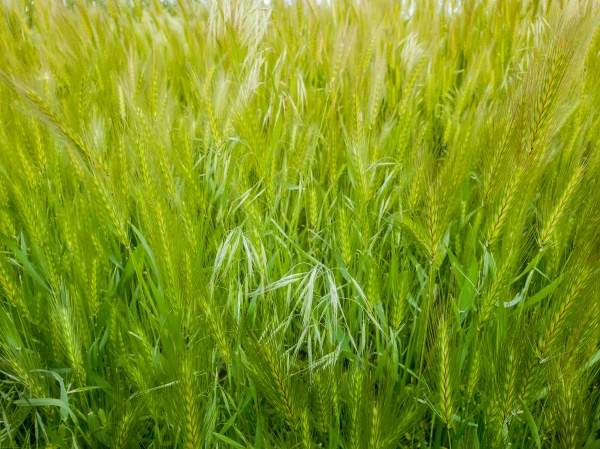blooming wild foxtail plants on a